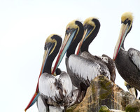 Peruvian Pelicans on Ballestas Islands, Peru